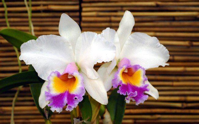 Orquídea da espécie Laelio Cattleya Jaguariuna