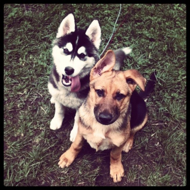 Write To Us With Your Feedback German Shepherd Puppies Dogs