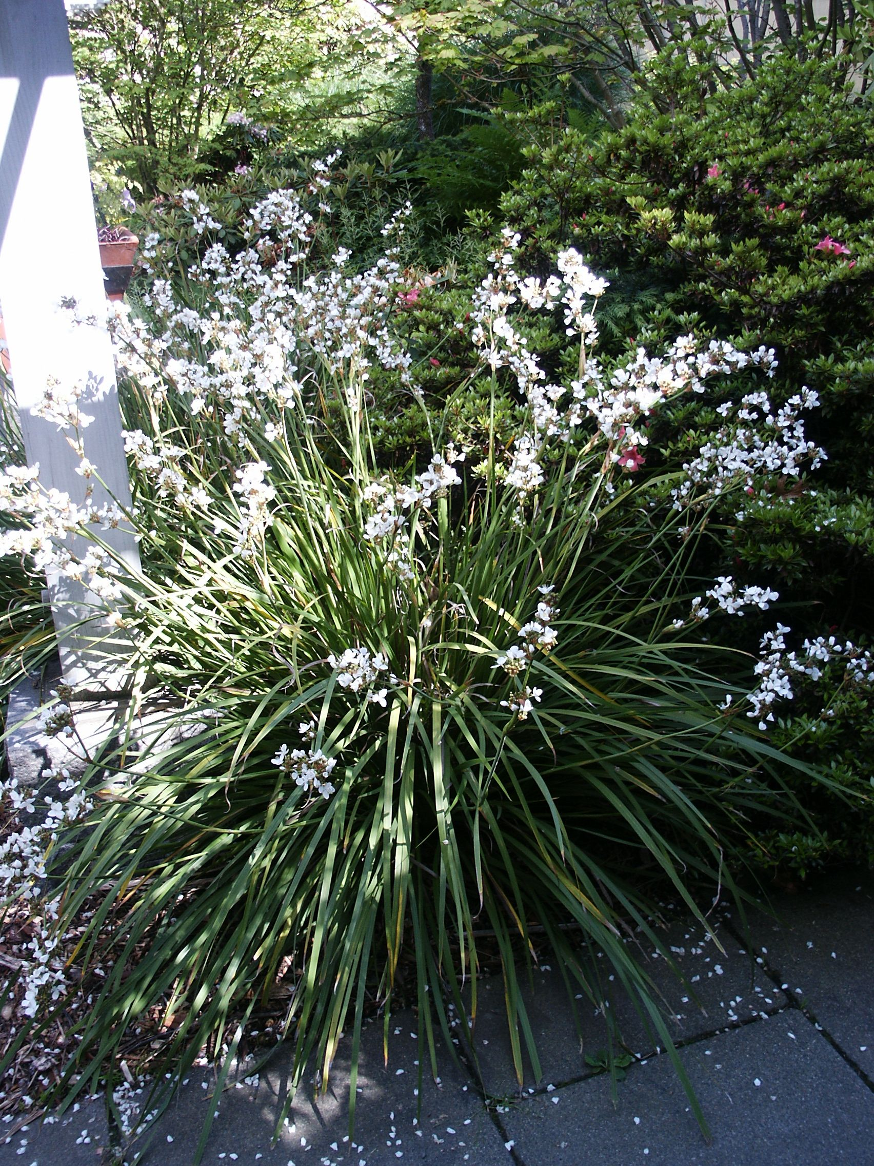 Libertia grandiflora tough evergreen perennial 3 4 ft tall with libertia grandiflora tough evergreen perennial 3 4 ft tall with spikes of white flowers dhlflorist Image collections