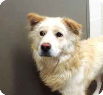 8 12 16 Apple Valley Ca Samoyed Terrier Unknown Type Medium Mix Meet Sasha Kitten Adoption Cute Animals Beautiful Dogs