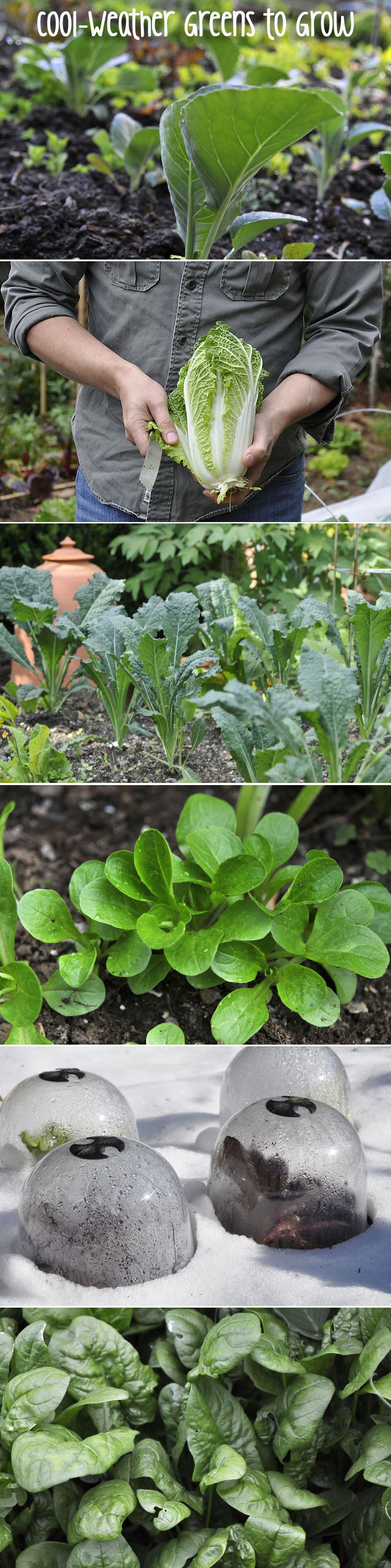 extend your home garden harvest by growing cool weather greens