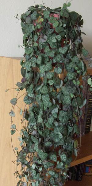5 Hardy Indoor Plants For Apartment Decorating 640 x 480