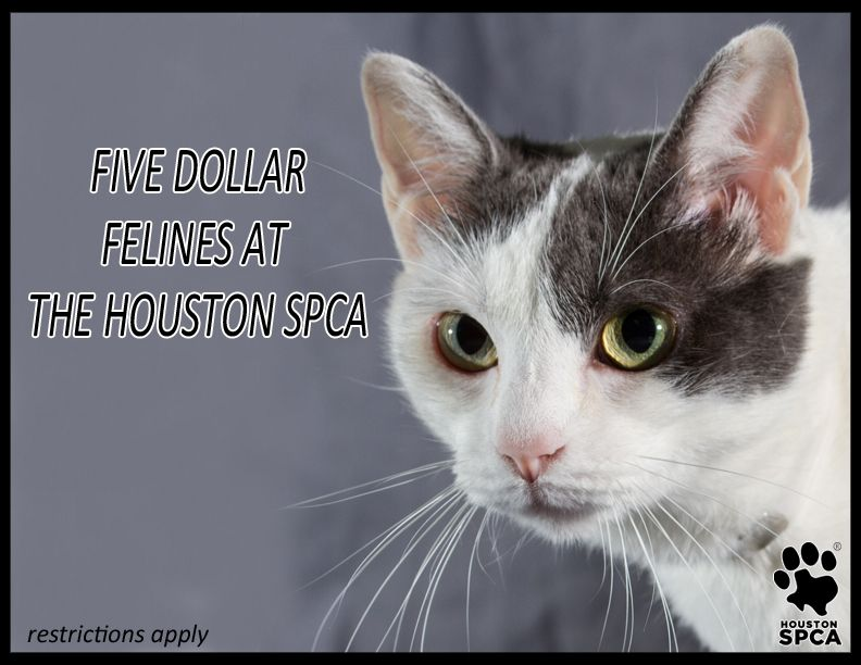 All Fantastic Felines Five Months Of Age And Older At The Houston
