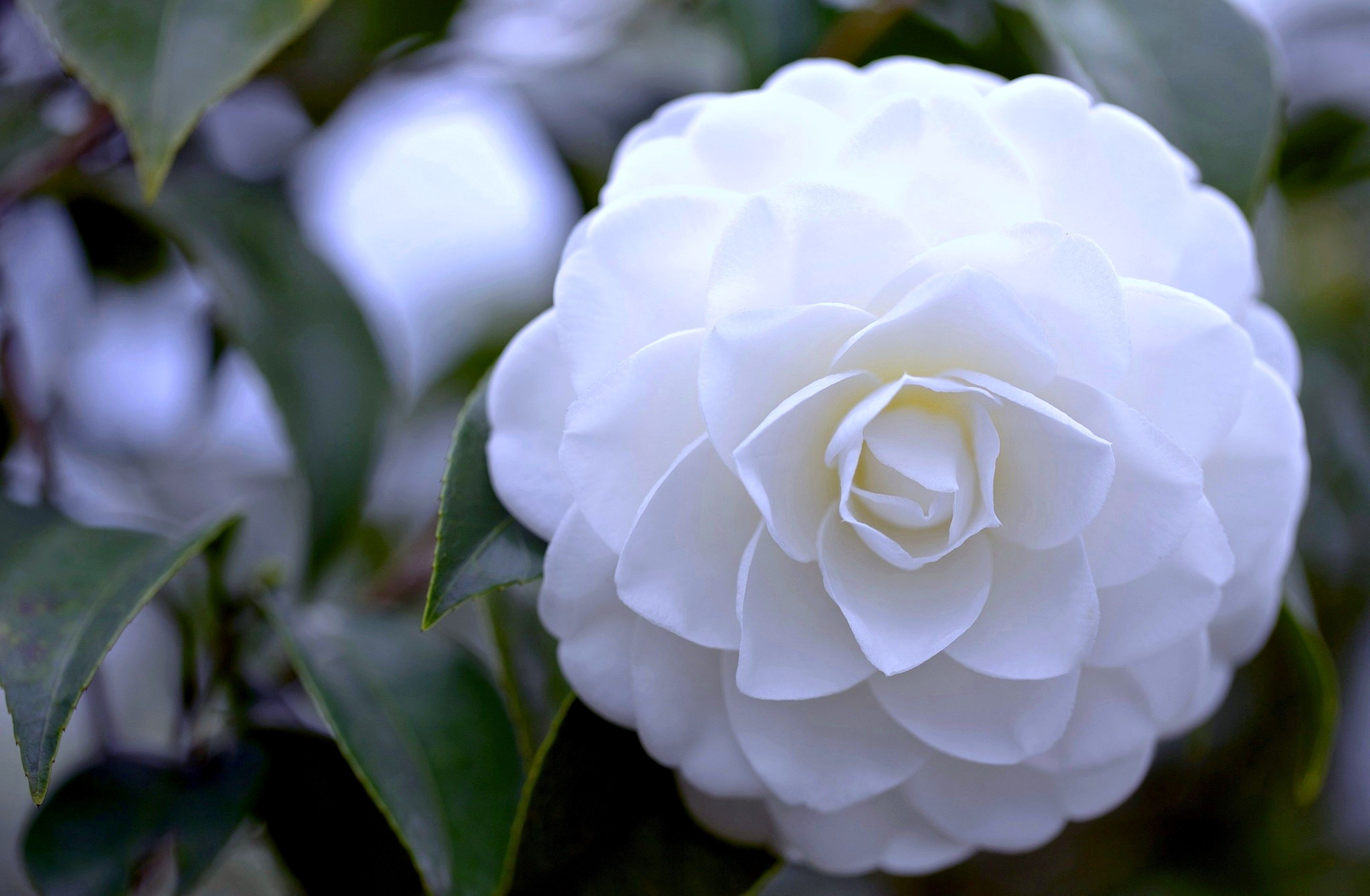 Camellia Free