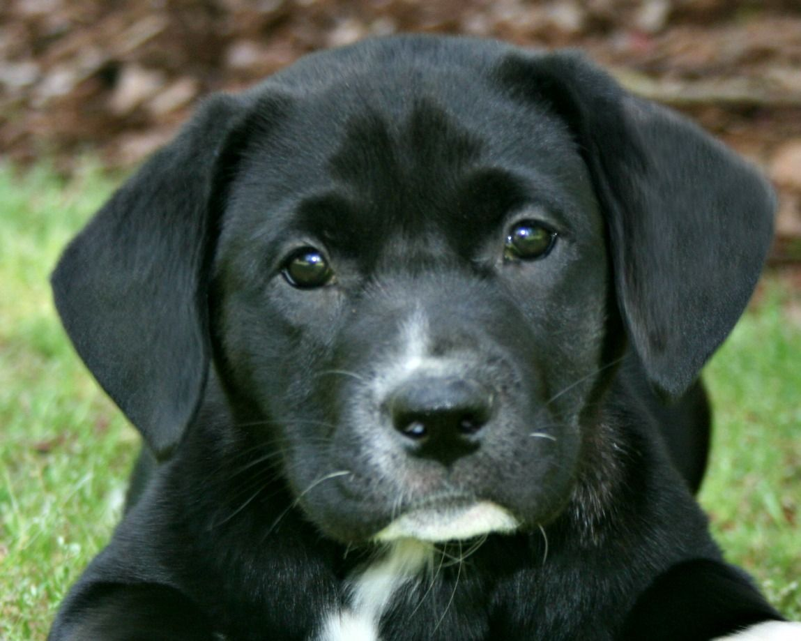 Silver lab puppies for sale in nc