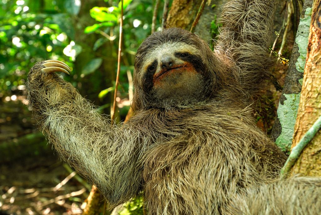 Check out this slowmoving sloth in a video from the