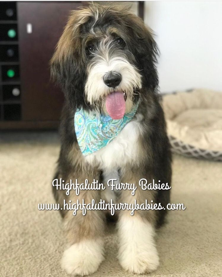 Sable Bernedoodle Puppy Can You Say Real Live Teddy Bear