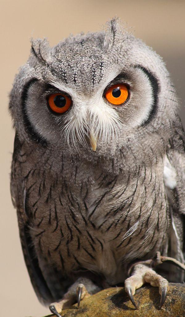 Otus Scops Owl