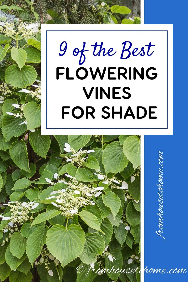 9 Of The Best Flowering Vines For Shade Gardening Pinterest