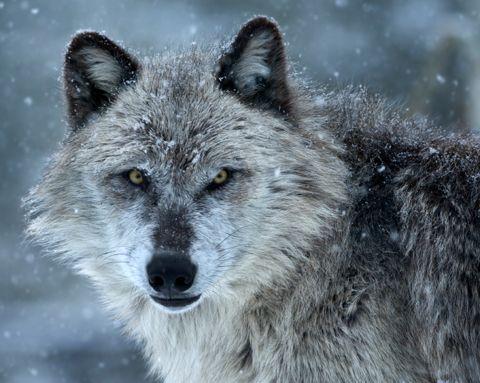 Fédération canadienne de la faune - Le grand méchant loup?