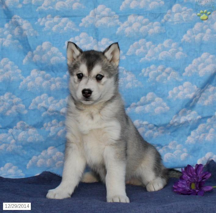 Alaskan Malamute Siberian Husky Hybrid Puppy For Sale In