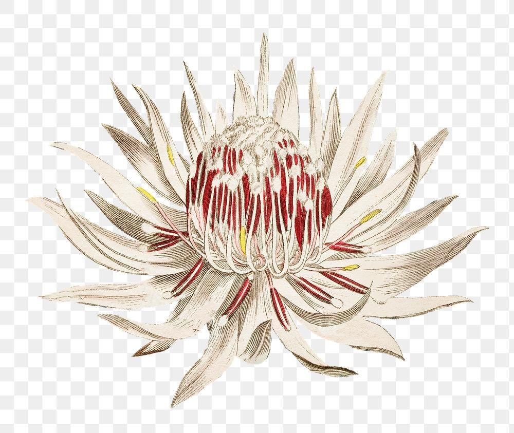 Download Premium Png Of Vintage Blooming Dagger Leaf Protea Flower In 2020 Protea Flower Flower Frame Bloom