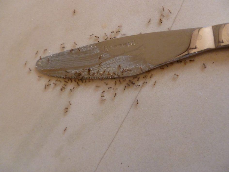 Fliegende Ameisen Im Wohnzimmer