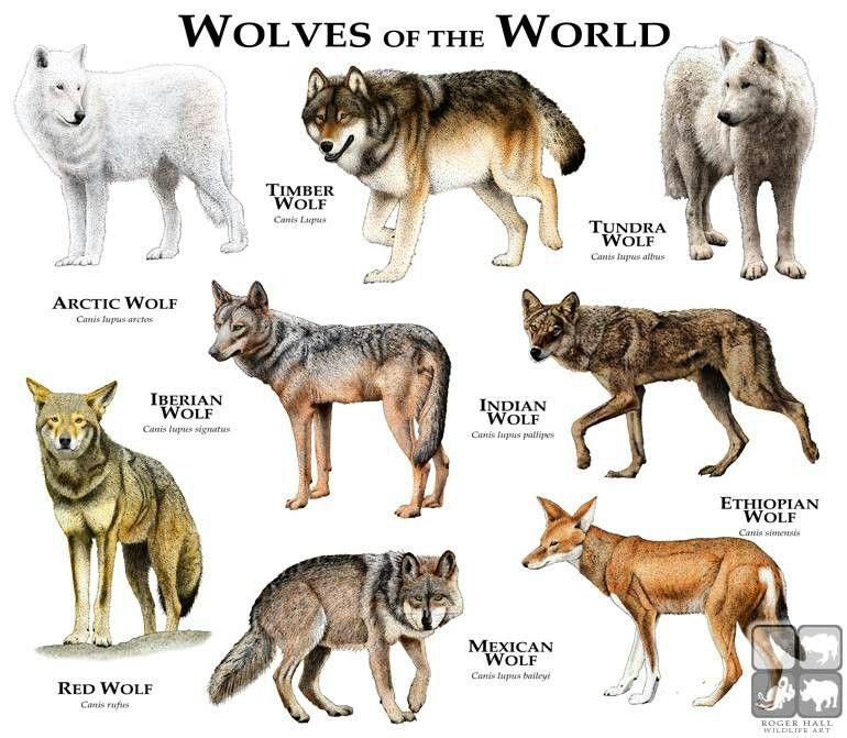 Wolf, Tier Wolf Und Wolf Hunde