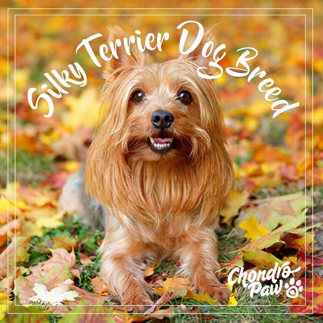 The Silky Terrier originated in Australia in the 1890's ...