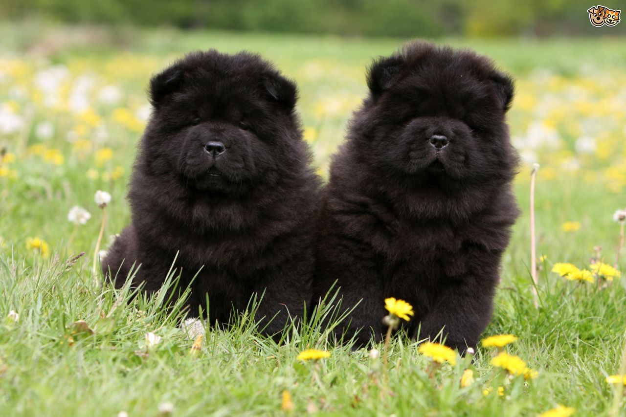 Chow Chow Dog Breed Facts Highlights Buying Advice Pets4homes Chow Chow Puppy Chow Chow Dogs Chow Dog Breed