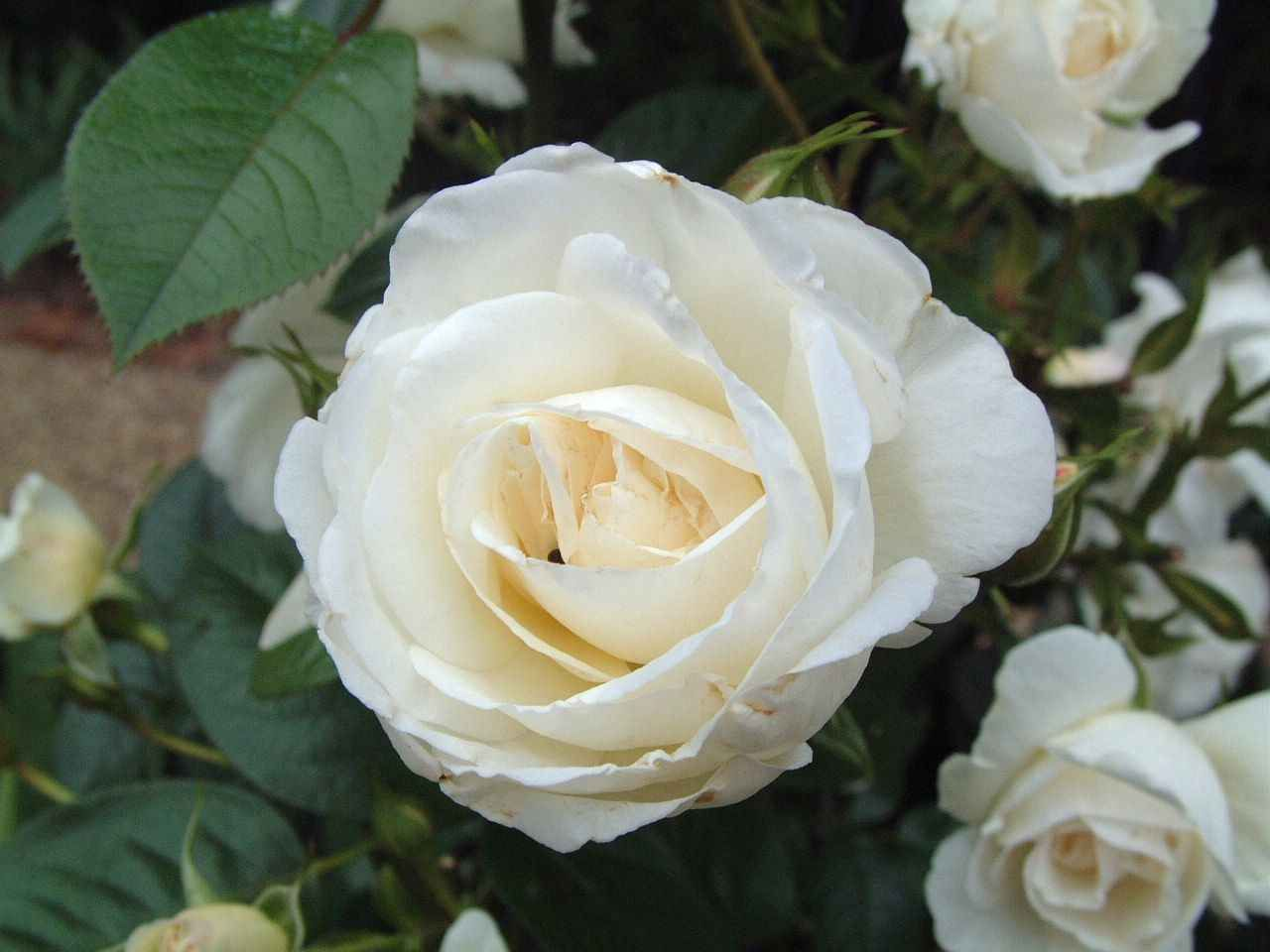 White English Rose Rose Seeds White Rose Flower Flower Seeds