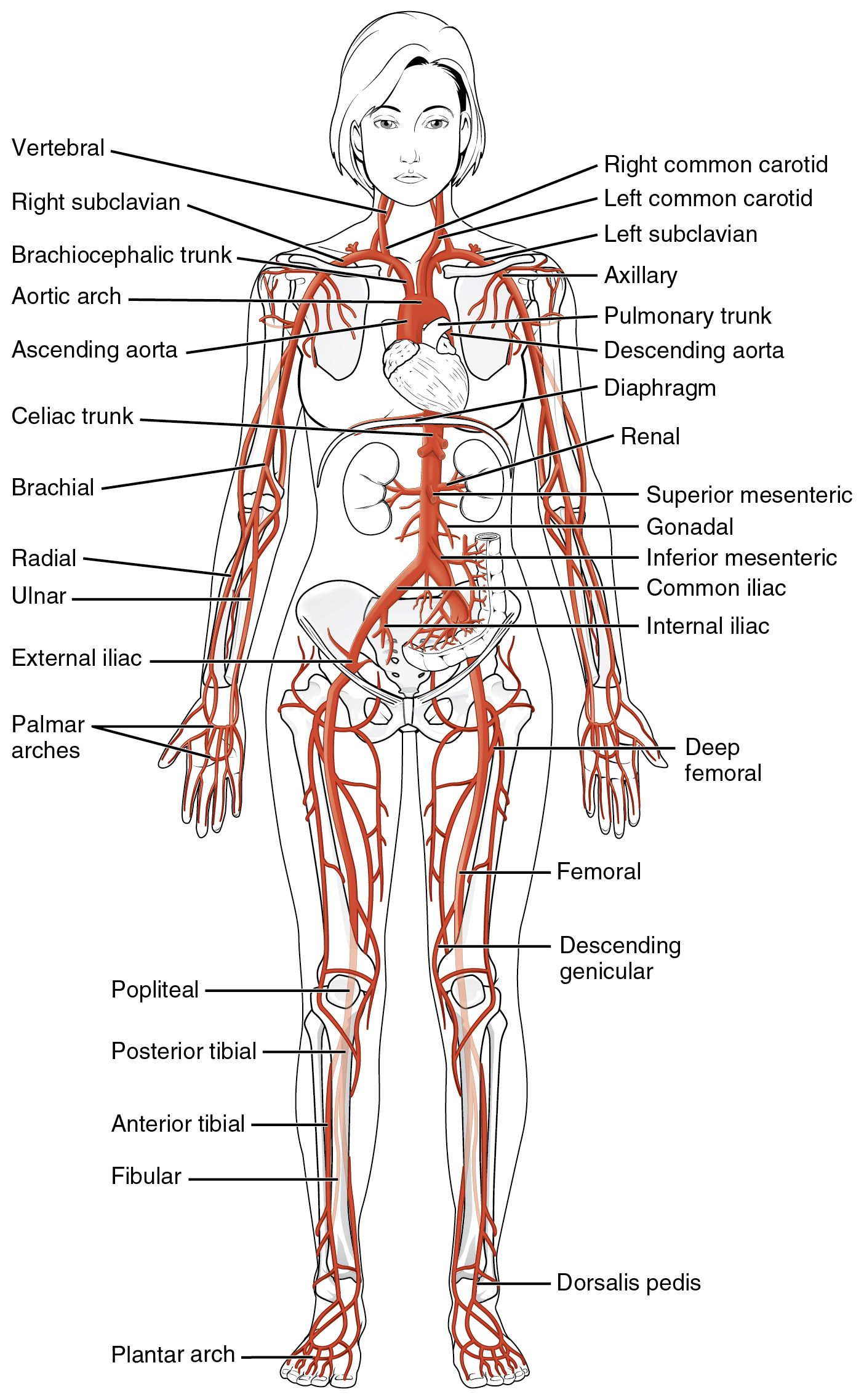 hight resolution of this diagrams shows the major arteries in the human body