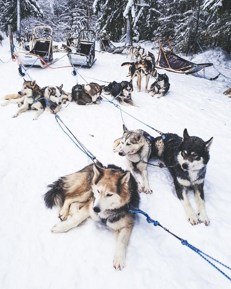 Husky Sledding In Finnish Lapland With Kota Husky Dogs