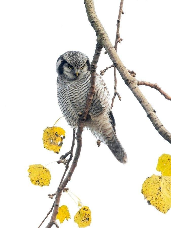 Northern Hawk-Owl / Sperweruil by Marcel van Os on 500px