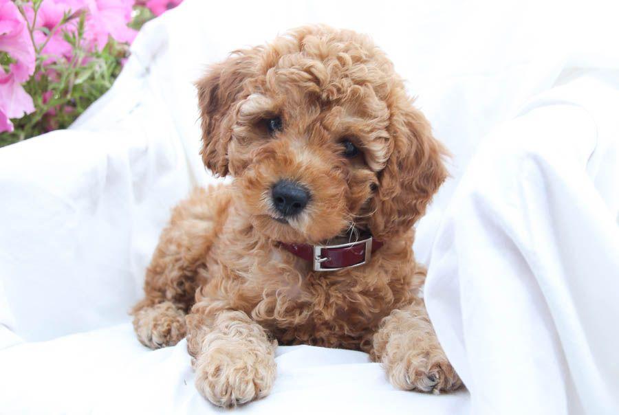 Miniature poodle puppies for sale miniature poodle puppy