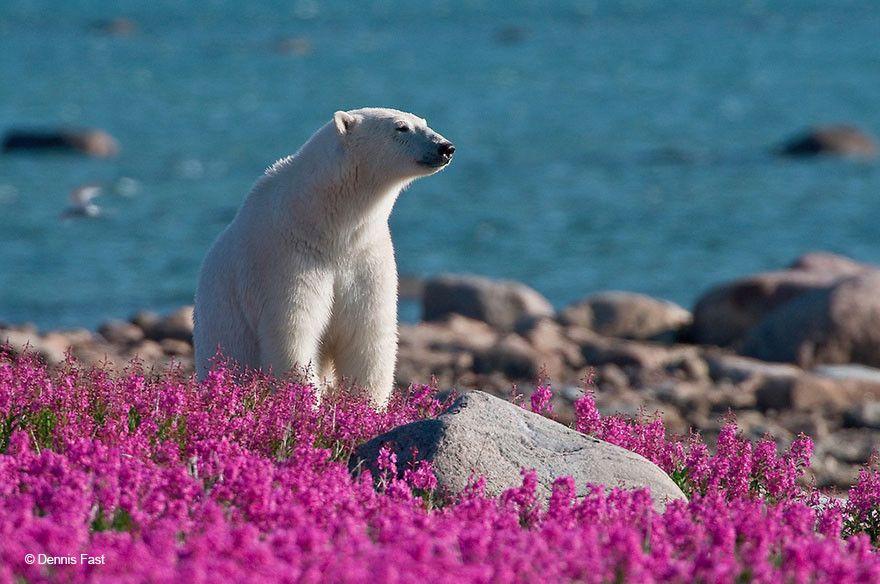 Prophotos.ru. Профессионально о фотографии | Белые медведи ...