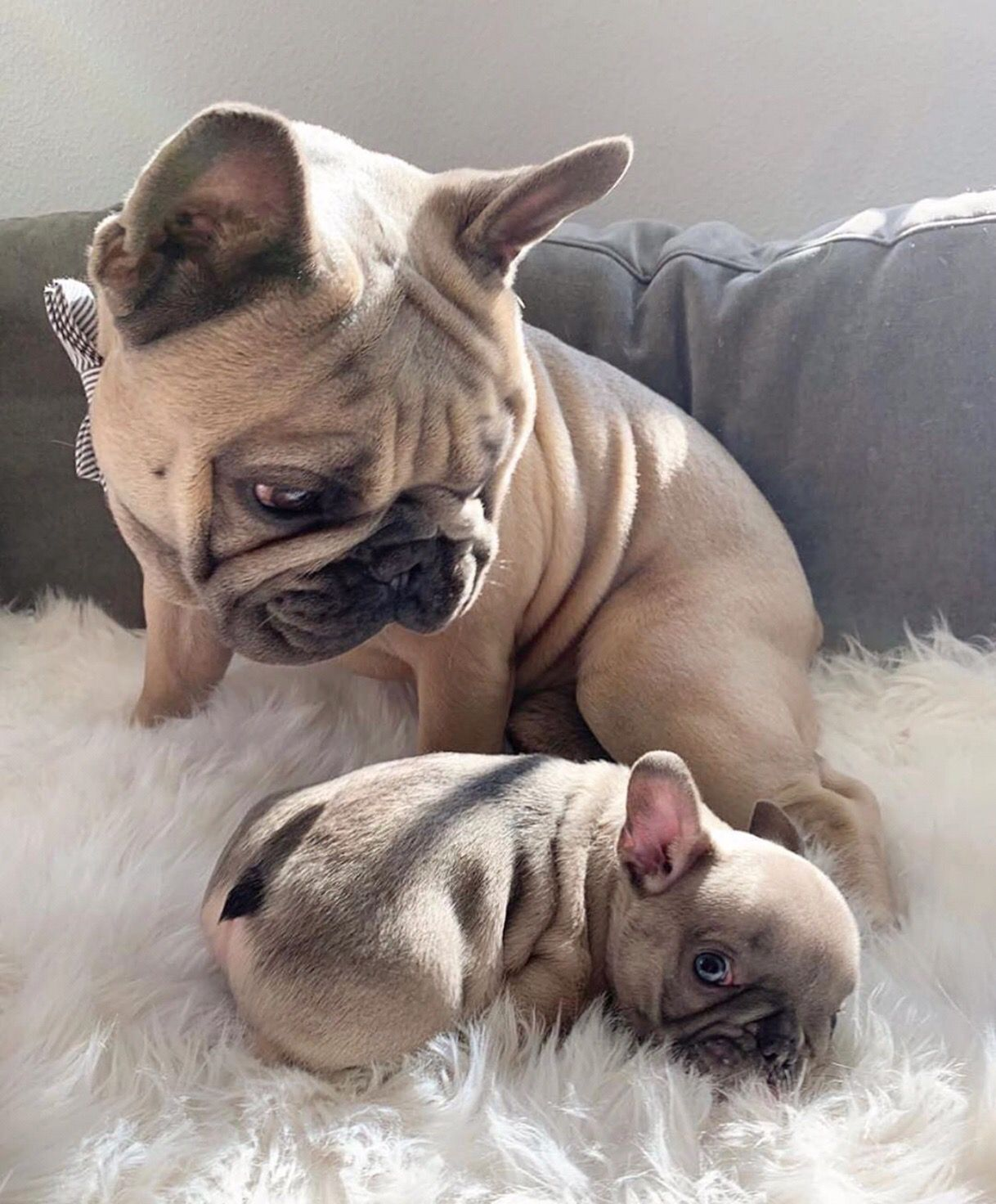 Pin By Emilia Schoffmann On Animals French Bulldog Puppies