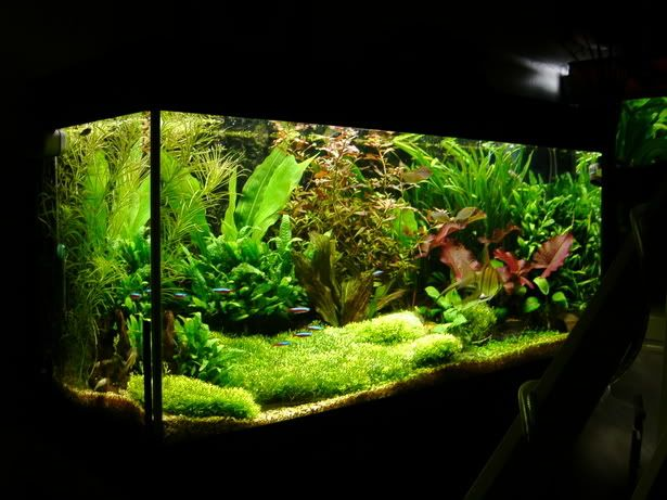 Step By Step Guide Riccia And Java Moss Archived Parc Threads Plastic Aquarium Plants Planted Aquarium Fish Tank