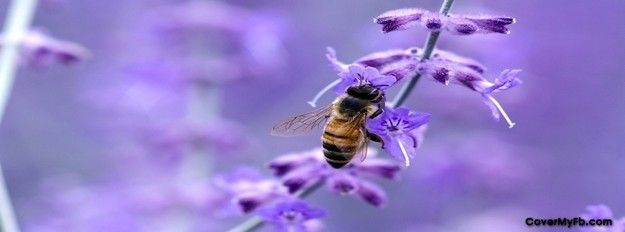 Bee On Purple Flowers Facebook Cover Bee Pictures Cartoon
