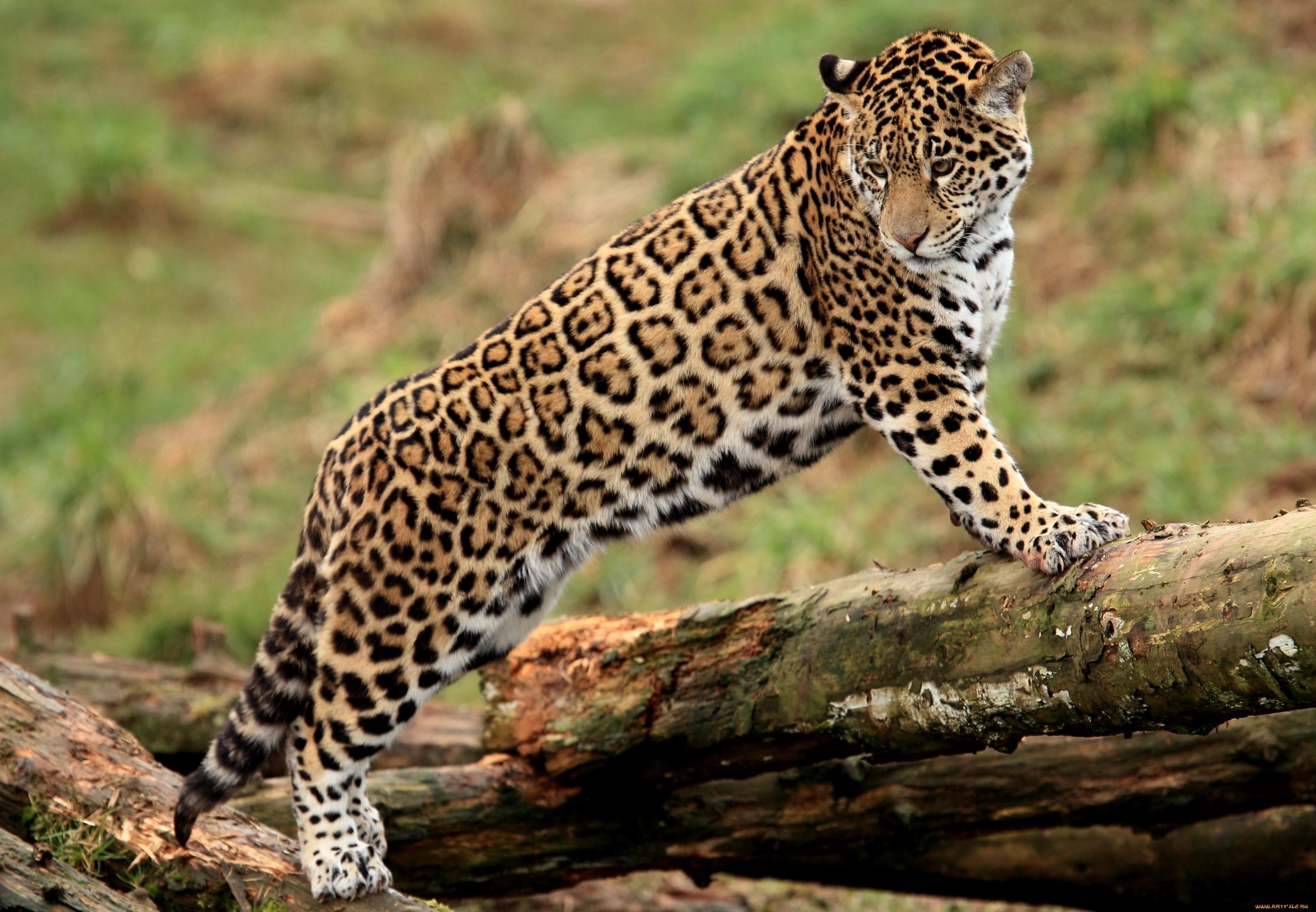 Фото ягуара