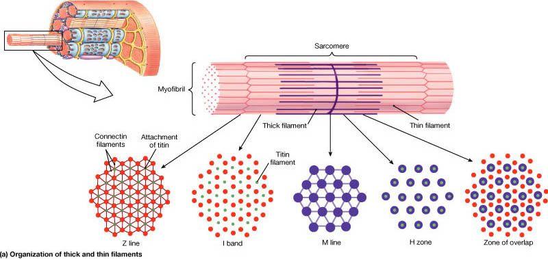 Skeletal Muscle Tissue Skeletal Muscle Muscle Tissue Endocrine System Hormones