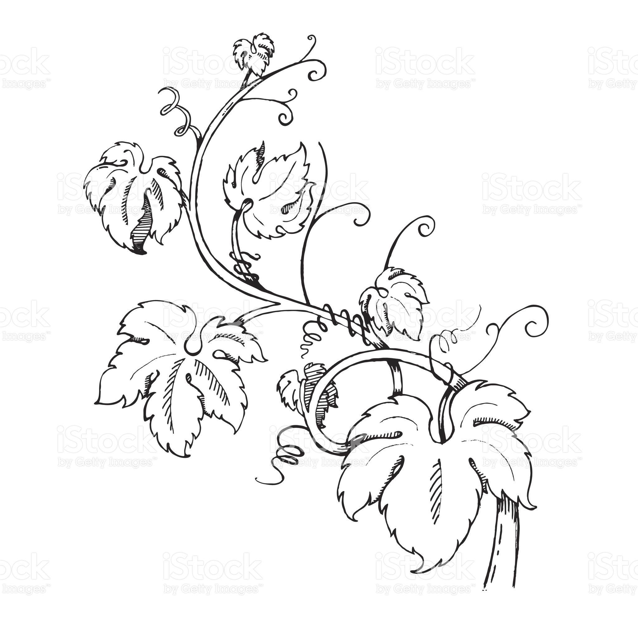Grape Leaves Baroque Plants Hand Drawn Black And White Illustration