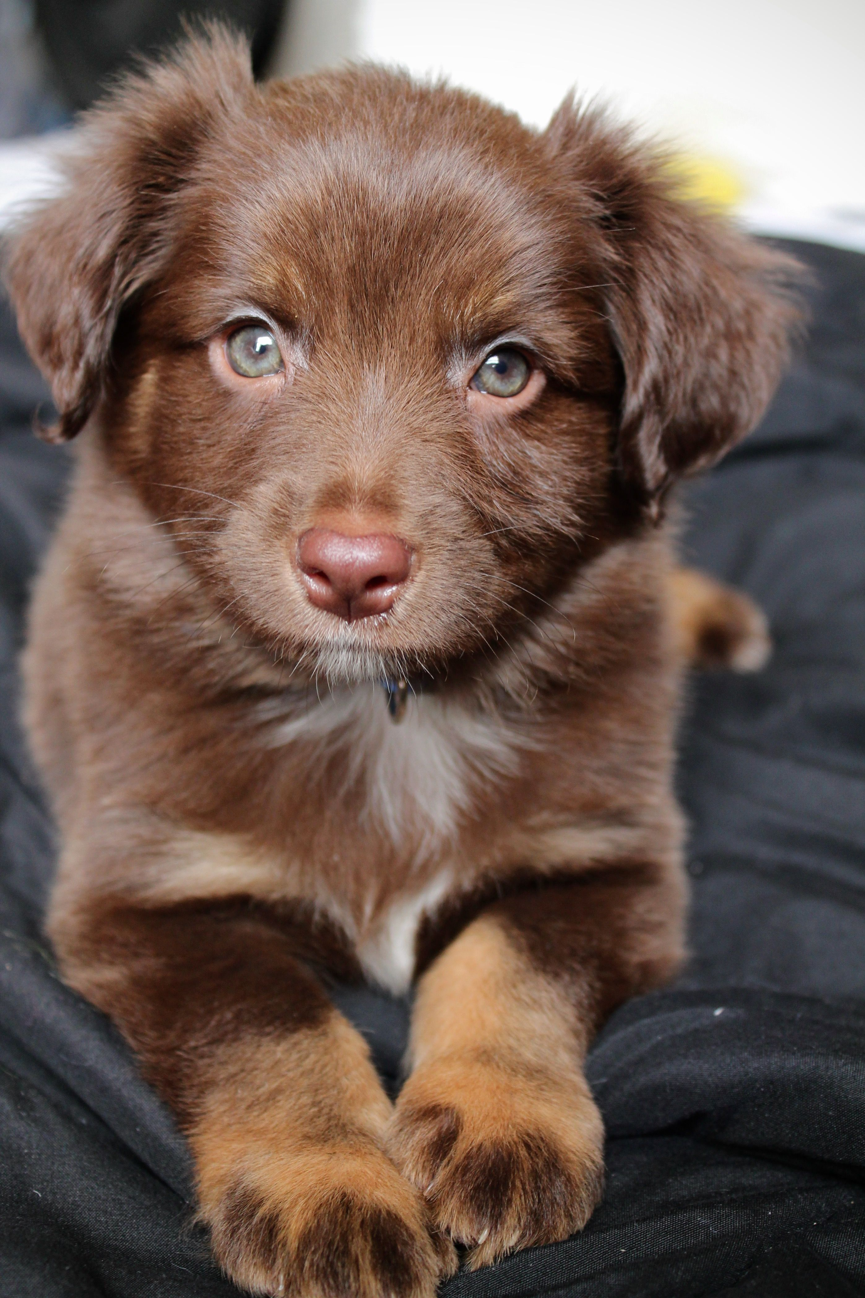 Red Tri Male Toy Australian Shepherd Toy Aussie Bruce Facebook