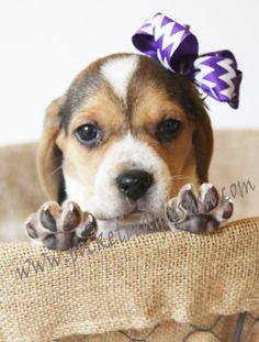 Awwwhhh I Want A Pocket Beagle That Gives High Fives Pocket