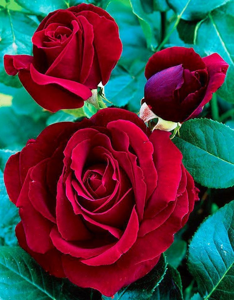 Red Roses Via Lovely Roses Facebook Page Roses Flowers Dark Red