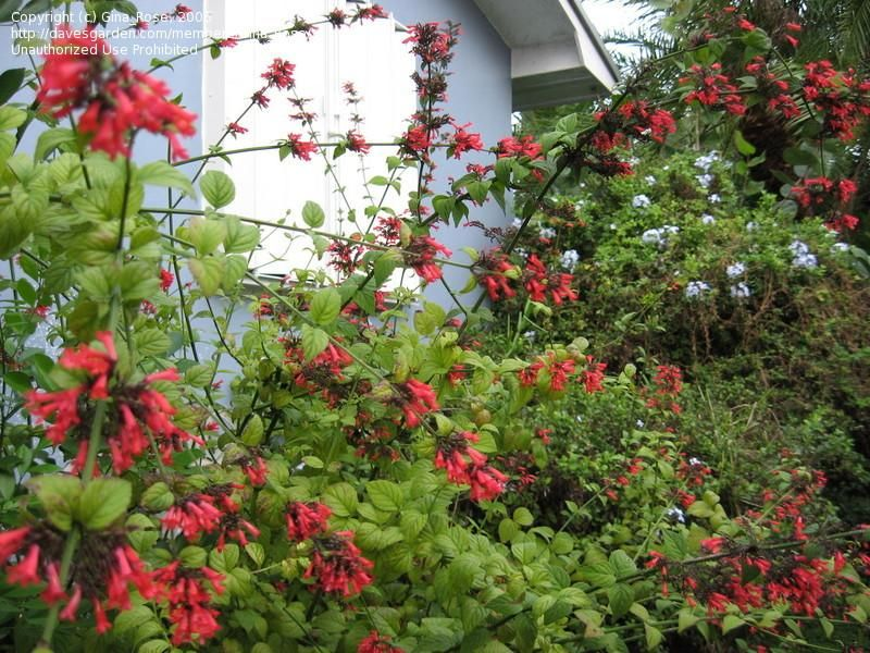 Full Size Picture Of Red Firecracker Plant Russelia Sarmentosa