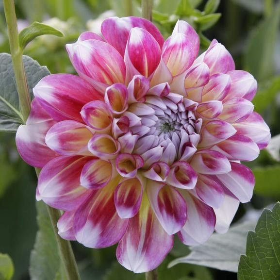 Dahlia Decorative Hawaii Tuber Swirls Of Yellow Rose Pink Coral And White Flores Rosas Dalias