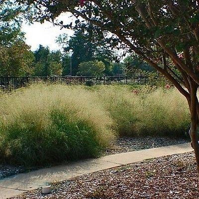 200 Sand Love Grass Seeds Under The Sun Seeds Ornamental Grasses Grass Seed Landscape Trees