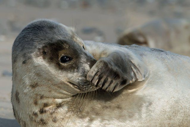 This photogenic seal really is sealing the lime from others around it. (Photo by Caters News)
