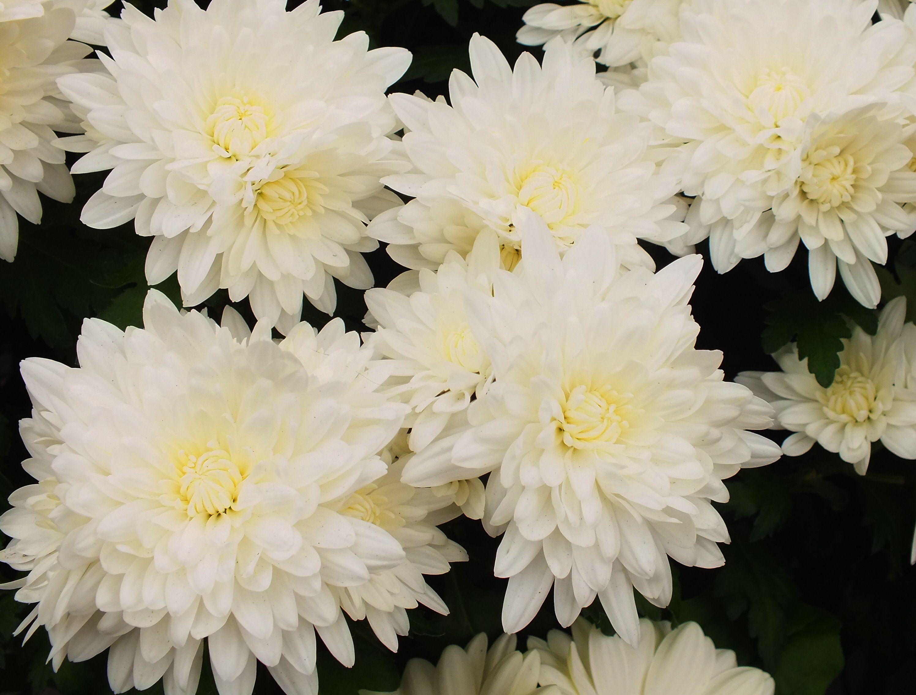 White Swan Chrysanthemums Garden Mums Pinterest White