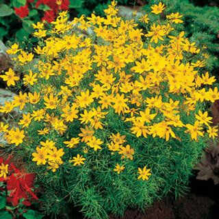 Coreopsis 39 Zagreb 39 A Great Plant It Blooms All Summer