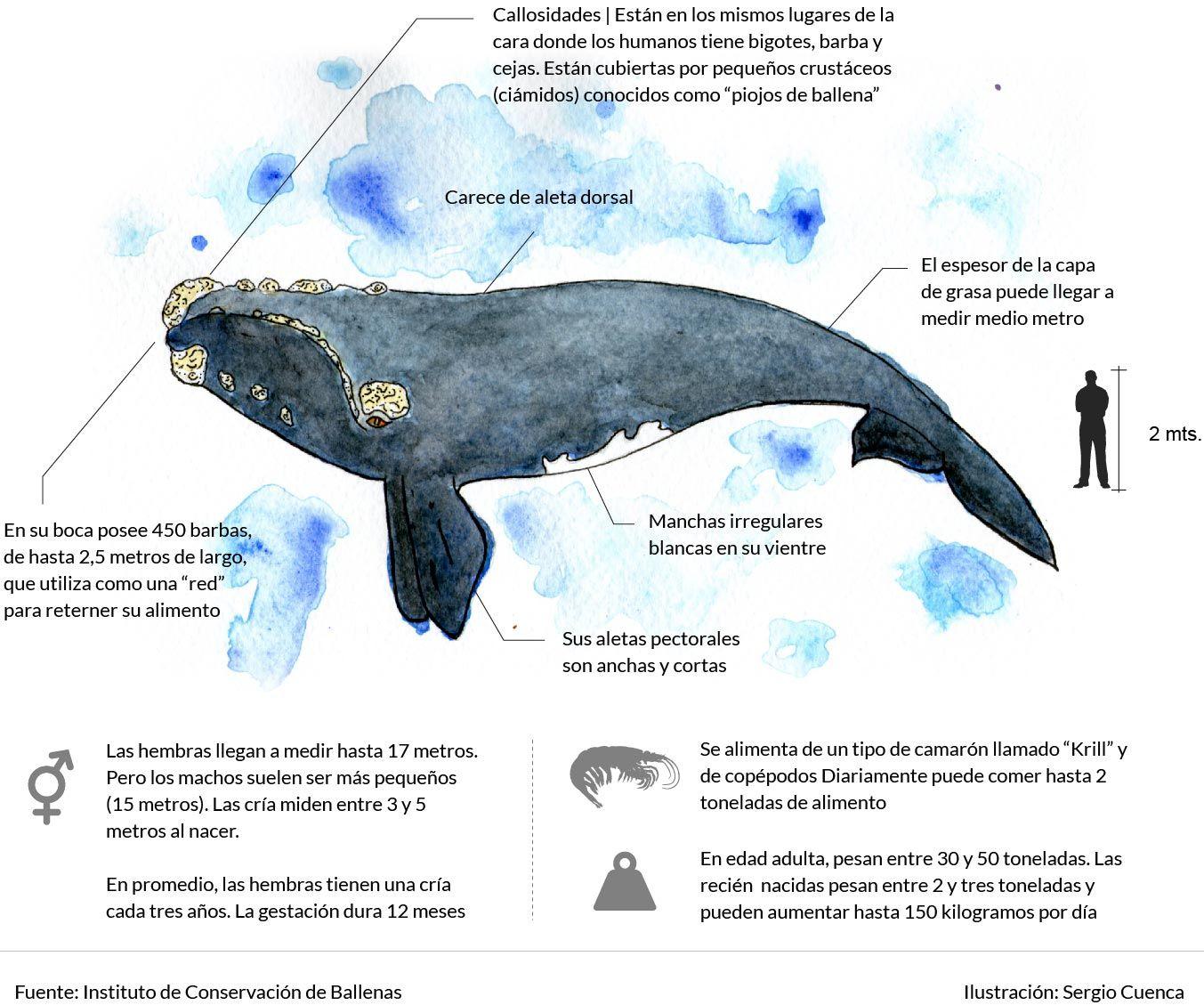 Infografía - Ballena Franca Austral   delfines   Pinterest   Ballena ...