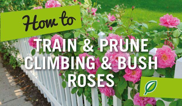 How To Train Prune Climbing Bush Roses Climbing Roses Roses Garden Care Garden Care