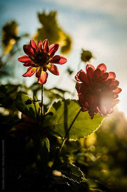 Chrysanthemum Flowers Before Sunset By Claudia Lommel Chrysanthemum Flower Chrysanthemum Sunset Wedding