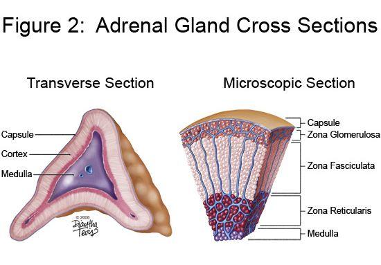 Adrenal Gland Adrenal Cortex Adrenal Glands Endocrine