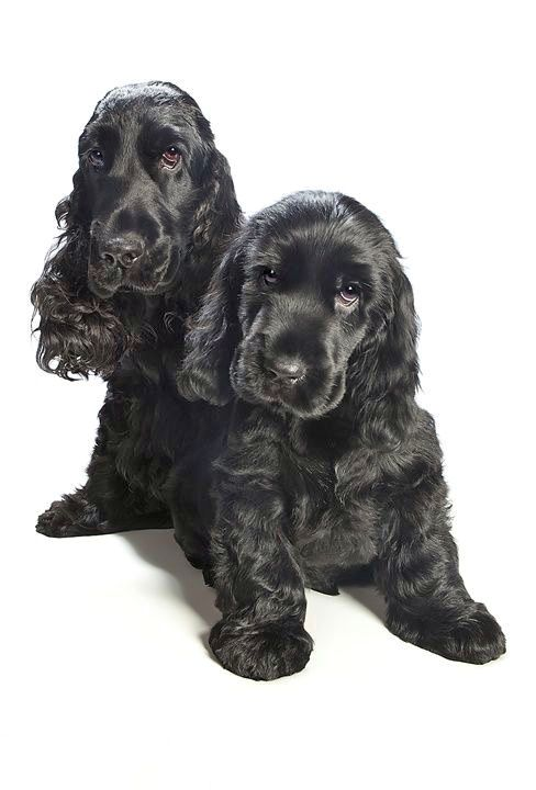 Pin By Toye Price On The Most Beautiful Cocker Spaniels In The World Cocker Spaniel Dog Black Cocker Spaniel Spaniel Puppies