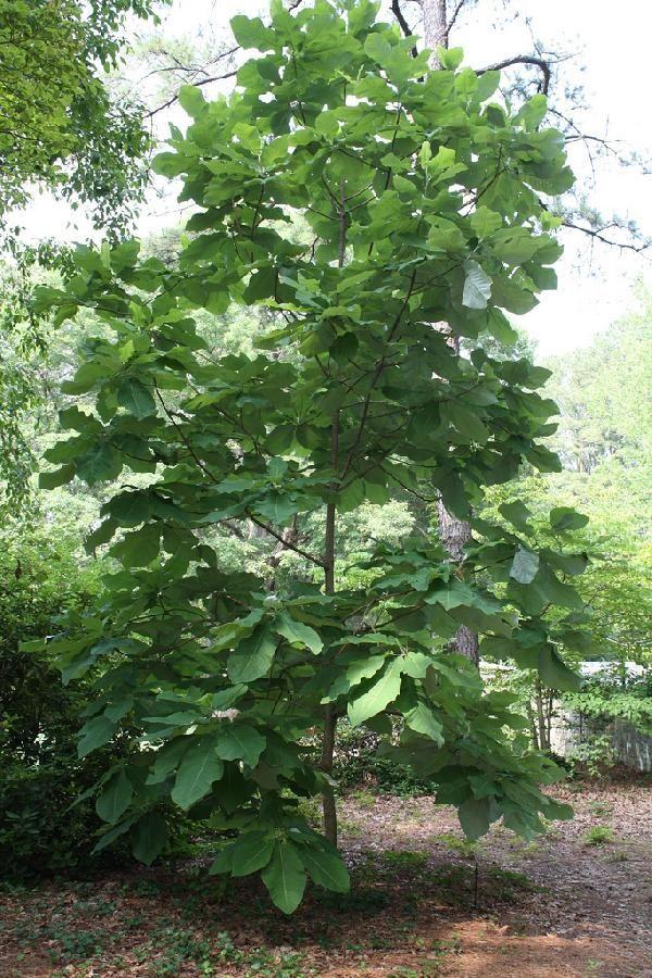 Large Leafed Magnolia Magnolia Macrophylla Gardening Magnolia