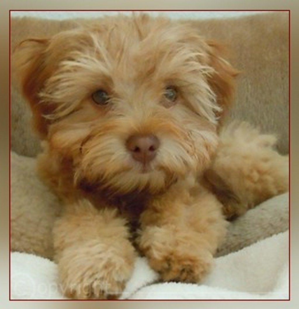 Adorable and Cute Little Bolonka Zwetna Dog Bolonka