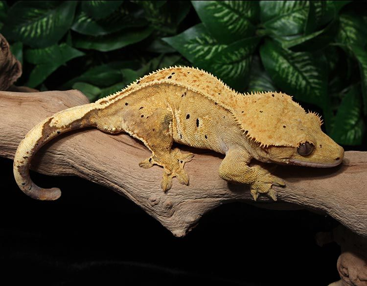 Crested Gecko For Sale Dx2 Crested Gecko Pinterest Crested