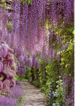 Wisteria Smells Fantastic And It Looks Like Lavendar Grapes Hanging Down Love It Blumen Anbauen Parks Traumgarten
